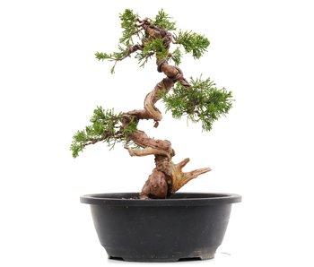 Juniperus chinensis Itoigawa, 27 cm, ± 23 jaar oud
