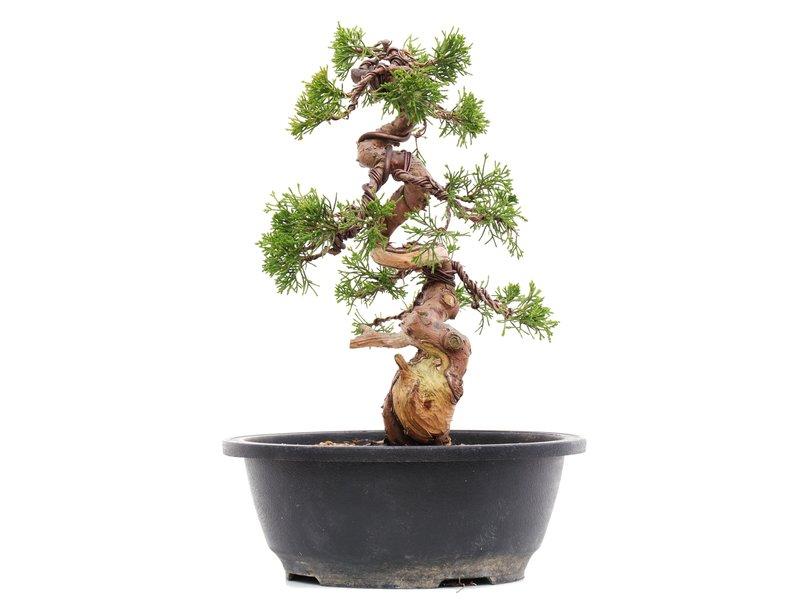 Juniperus chinensis Itoigawa, 27 cm, ± 23 jaar oud, met jin en shari