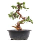 Juniperus chinensis Itoigawa, 27 cm, ± 23 years old, with jin and shari