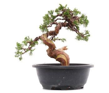 Juniperus chinensis Itoigawa, 23 cm, ± 23 jaar oud