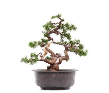 Juniperus chinensis Itoigawa, 29,5 cm, ± 23 años