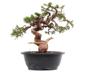 Juniperus chinensis Itoigawa, 26 cm, ± 23 years old