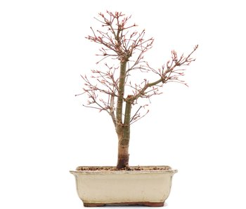 Acer palmatum Katsura, 38 cm, ± 12 anni