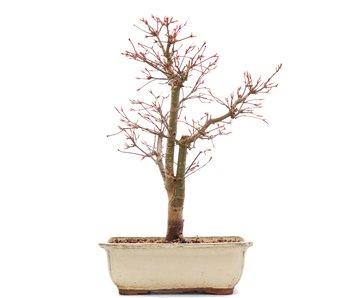 Acer palmatum Katsura, 38 cm, ± 12 años