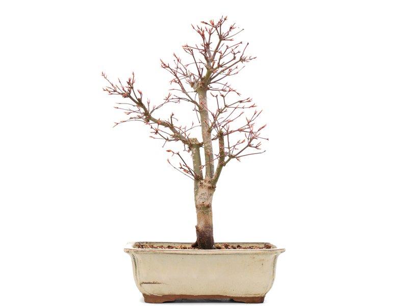 Acer palmatum Katsura, 38 cm, ± 12 jaar oud