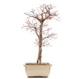 Acer palmatum Katsura, 41,5 cm, ± 12 jaar oud