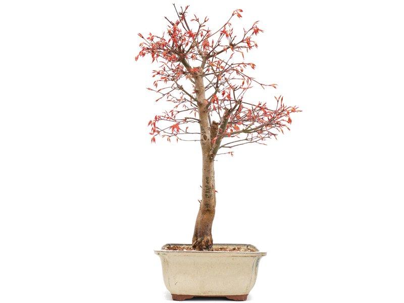Acer palmatum Katsura, 44 cm, ± 12 jaar oud