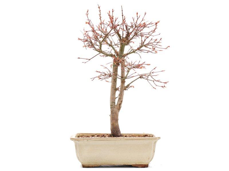 Acer palmatum Katsura, 36,5 cm, ± 12 jaar oud