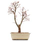 Acer palmatum Katsura, 40 cm, ± 12 jaar oud
