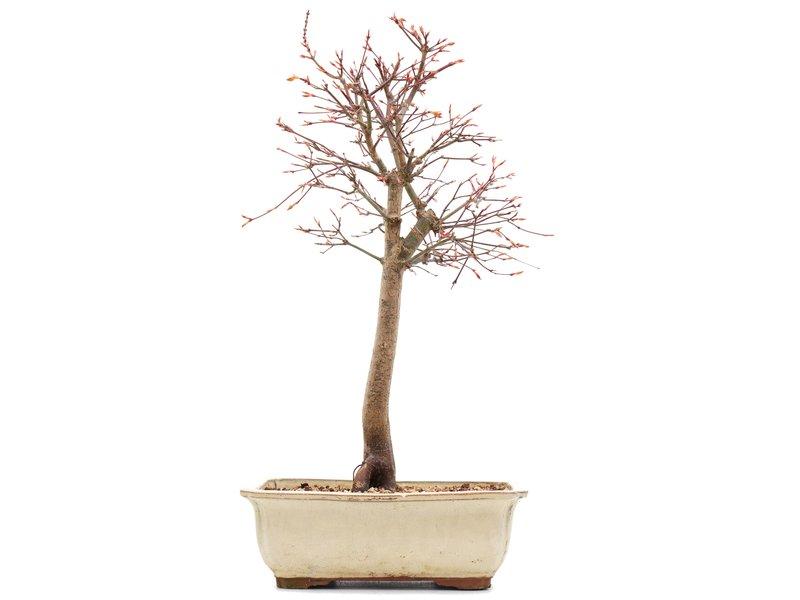 Acer palmatum Katsura, 43,5 cm, ± 12 jaar oud