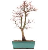 Acer palmatum Katsura, 43 cm, ± 12 jaar oud
