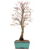 Acer palmatum Katsura, 45 cm, ± 12 jaar oud