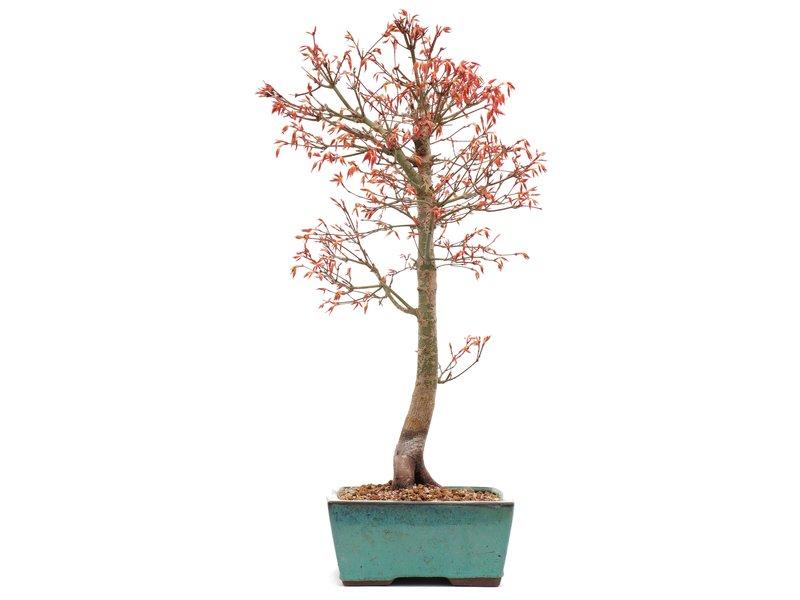 Acer palmatum Katsura, 47,5 cm, ± 12 jaar oud