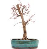 Acer palmatum Katsura, 36 cm, ± 12 jaar oud