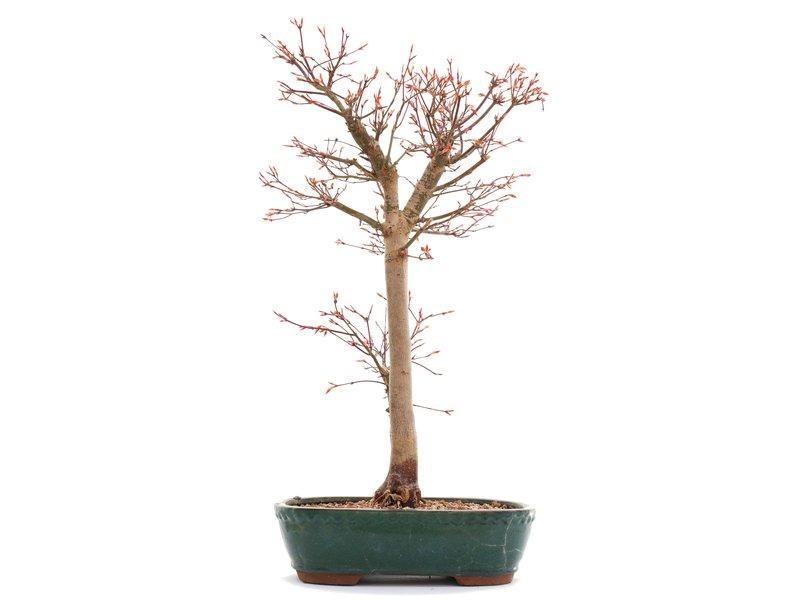 Acer palmatum Katsura, 29 cm, ± 12 jaar oud, in een kapotte pot