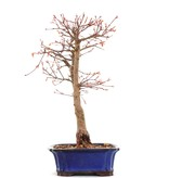 Acer palmatum Katsura, 38,7 cm, ± 12 jaar oud