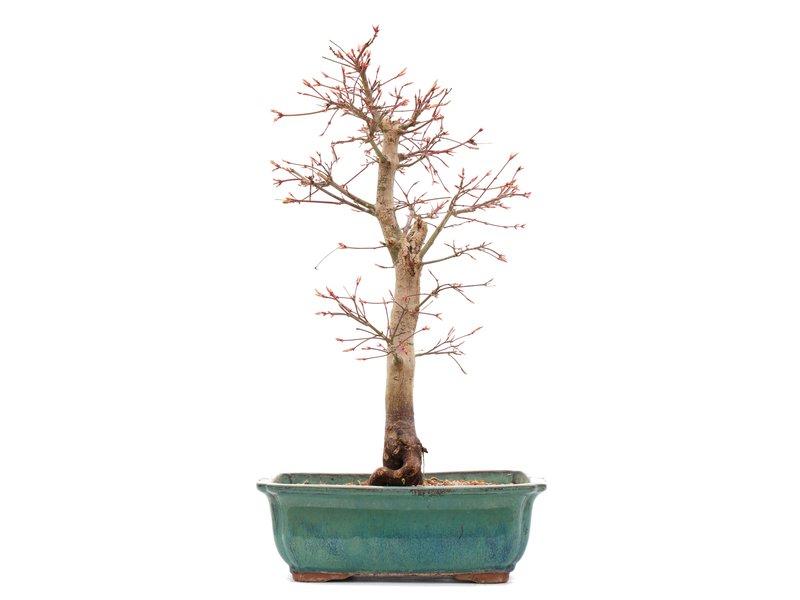 Acer palmatum Katsura, 41 cm, ± 12 jaar oud