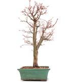 Acer palmatum Katsura, 40,5 cm, ± 12 jaar oud