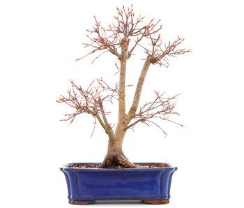Acer palmatum Katsura, 35,5 cm, ± 12 years old
