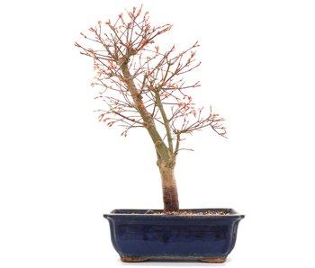 Acer palmatum Katsura, 38,5 cm, ± 12 years old