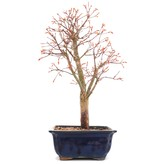 Acer palmatum Katsura, 38,5 cm, ± 12 jaar oud