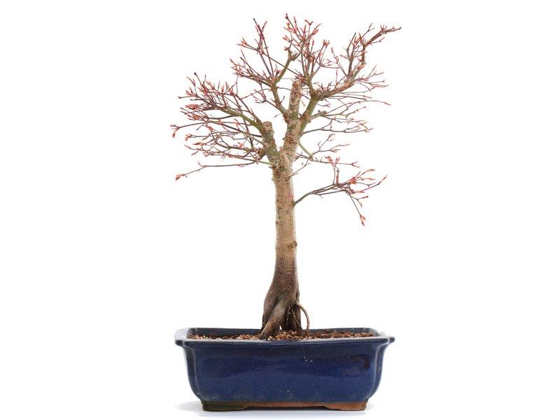 Acer palmatum Katsura, 39,5 cm, ± 12 jaar oud