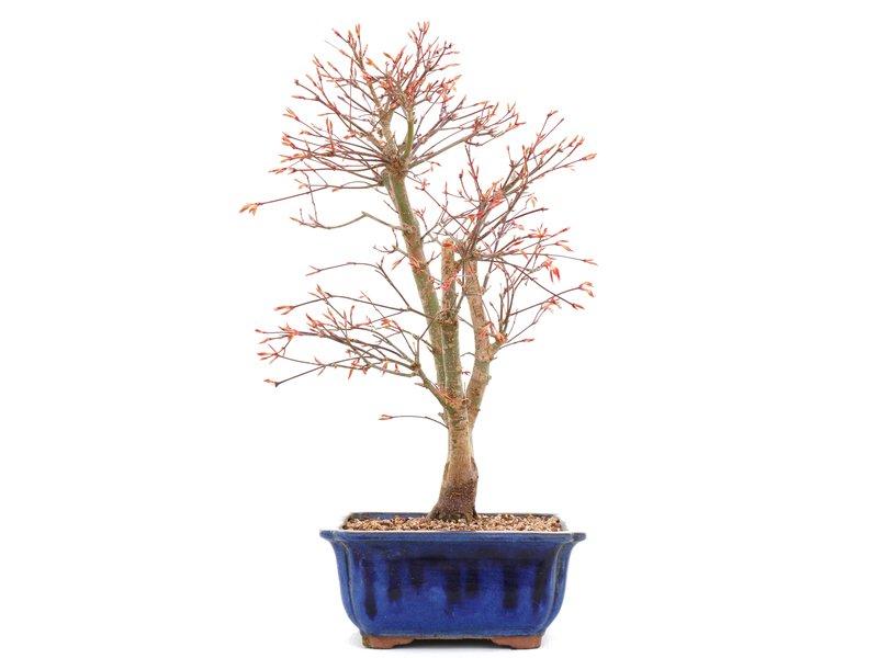 Acer palmatum Katsura, 37 cm, ± 12 jaar oud, In een gebarsten pot