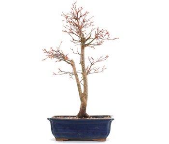 Acer palmatum Katsura, 47 cm, ± 12 years old