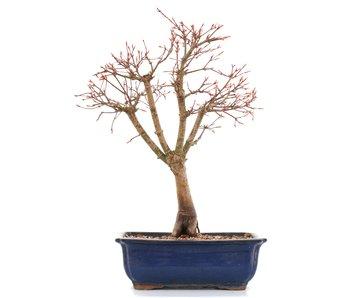 Acer palmatum Katsura, 37 cm, ± 12 years old