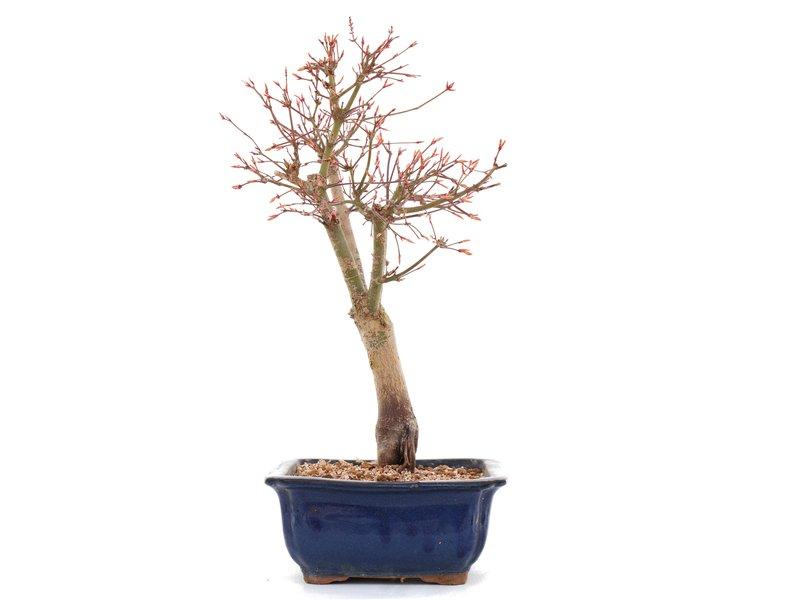 Acer palmatum Katsura, 37 cm, ± 12 jaar oud