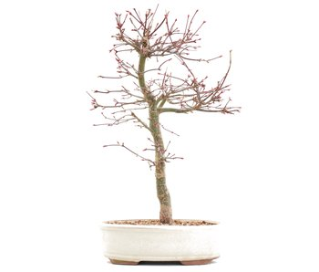 Acer palmatum 139,95, 36 cm, ± 10 years old