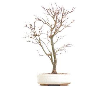 Acer palmatum Deshojo, 41 cm, ± 10 years old