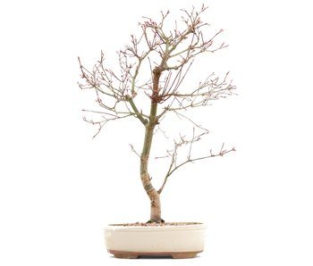 Acer palmatum Deshojo, 43 cm, ± 10 years old