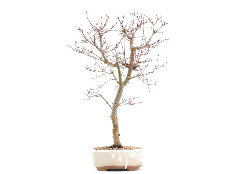Acer palmatum Deshojo, 43 cm, ± 10 jaar oud