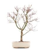 Acer palmatum Deshojo, 41 cm, ± 10 jaar oud