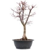 Acer palmatum Deshojo, 49,5 cm, ± 12 jaar oud