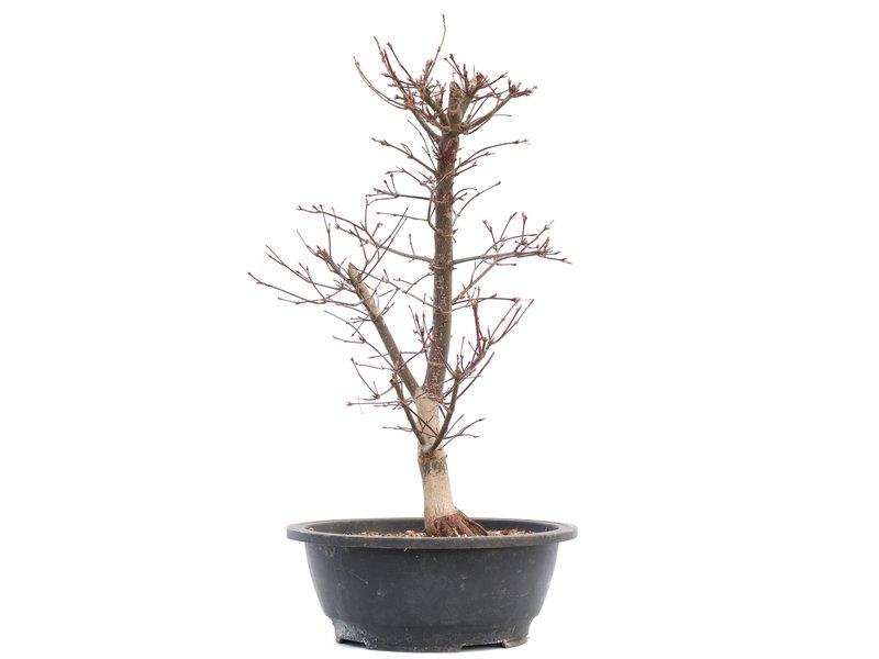 Acer palmatum Deshojo, 48 cm, ± 12 jaar oud