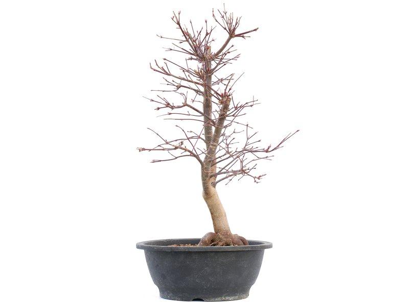 Acer palmatum Deshojo, 49 cm, ± 12 jaar oud