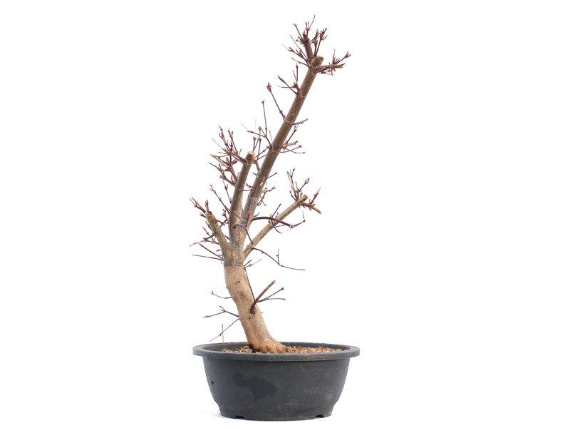 Acer palmatum Deshojo, 46 cm, ± 12 jaar oud