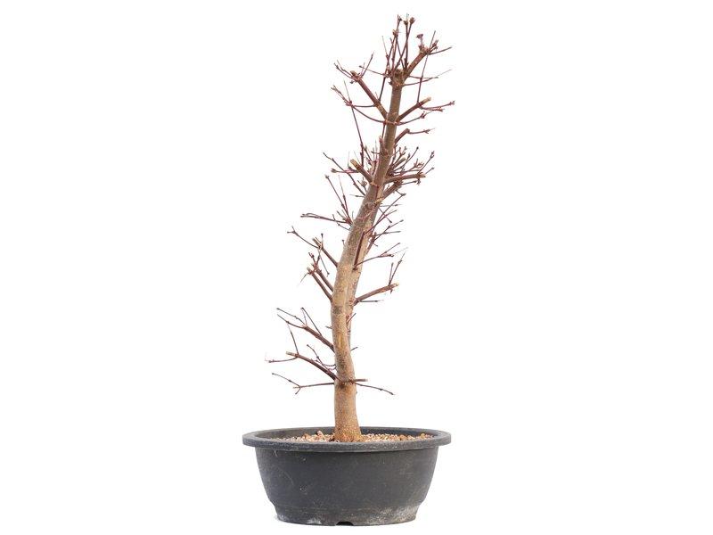 Acer palmatum Deshojo, 44,5 cm, ± 12 jaar oud