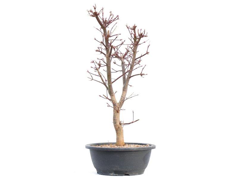 Acer palmatum Deshojo, 45,5 cm, ± 12 jaar oud