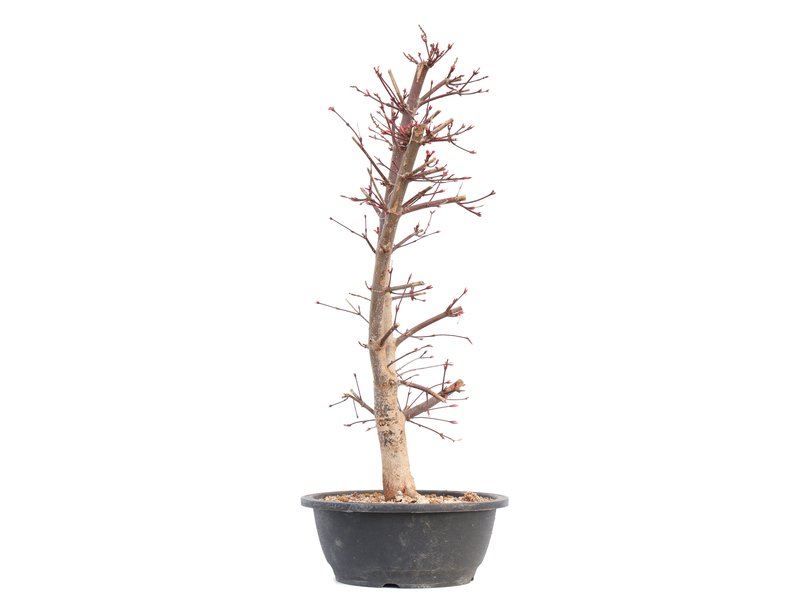Acer palmatum Deshojo, 45 cm, ± 12 jaar oud