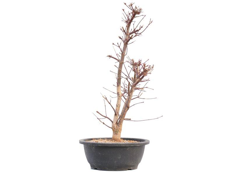 Acer palmatum Deshojo, 47 cm, ± 12 jaar oud