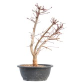 Acer palmatum Deshojo, 41 cm, ± 12 jaar oud