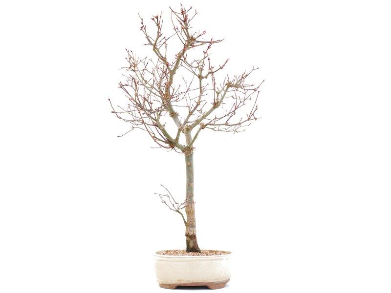 Acer palmatum Deshojo, 48,5 cm, ± 10 jaar oud, In gebarsten pot