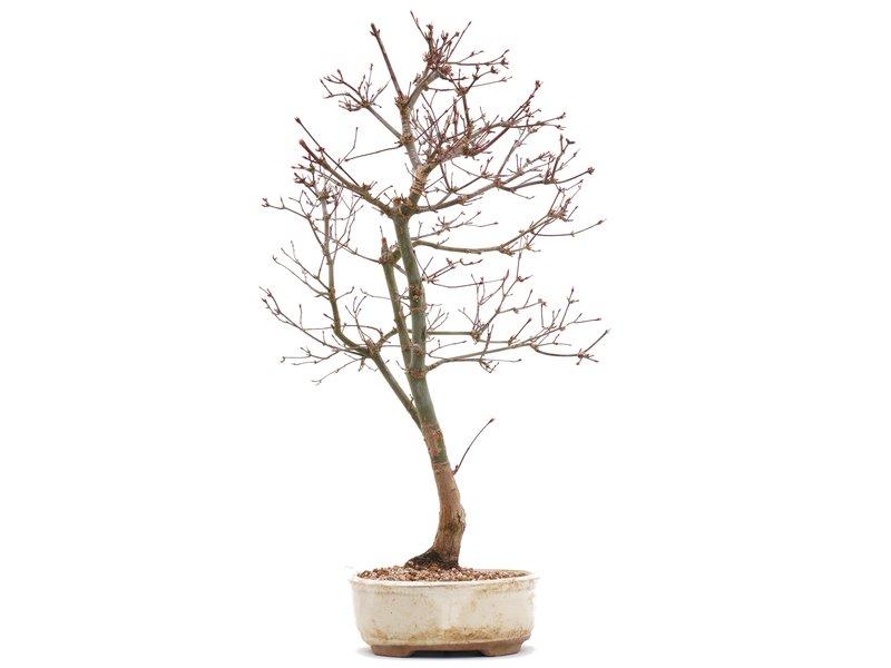 Acer palmatum Deshojo, 47,5 cm, ± 10 jaar oud