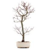Acer palmatum Deshojo, 45 cm, ± 10 jaar oud