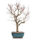 Acer palmatum Deshojo, 37 cm, ± 10 jaar oud