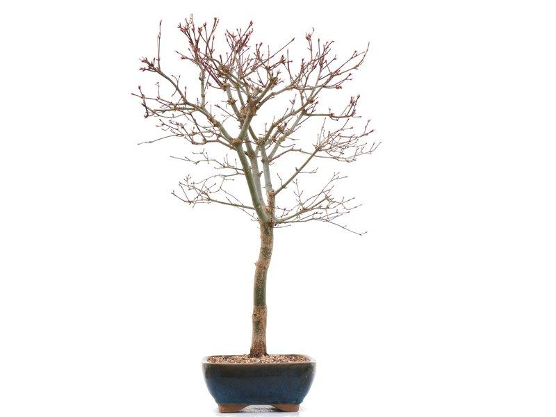 Acer palmatum Deshojo, 49,5 cm, ± 10 jaar oud