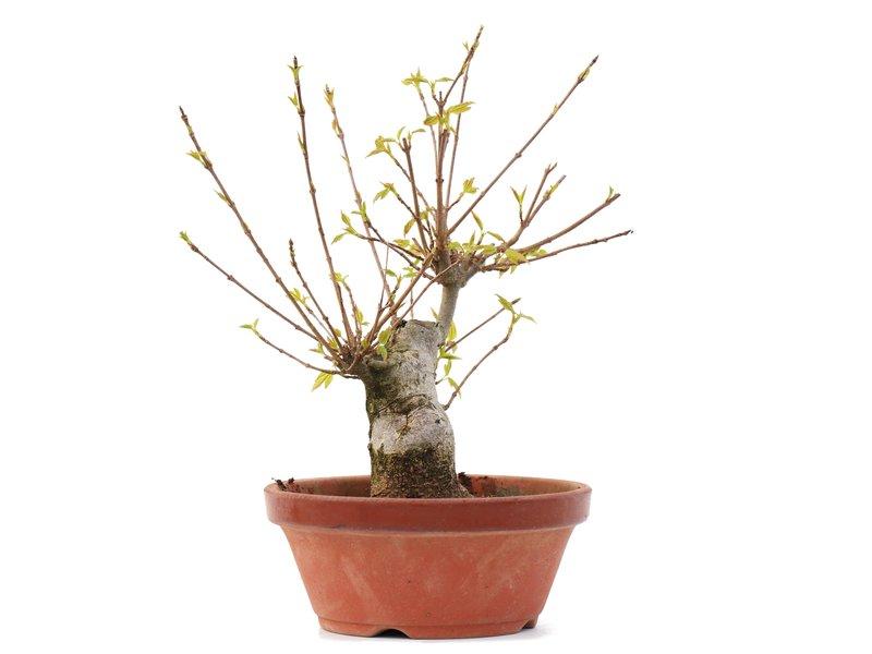 Acer buergerianum, 19,5 cm, ± 35 jaar oud